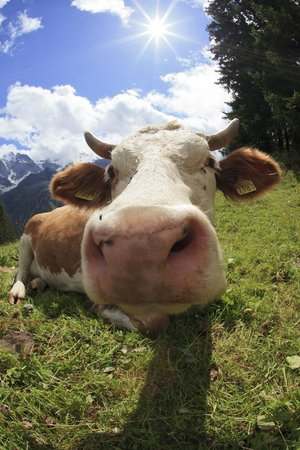 Eiger Guesthouse: Cow