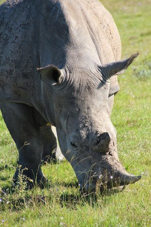 Schotia Safaris Private Game Reserve: Nashorn