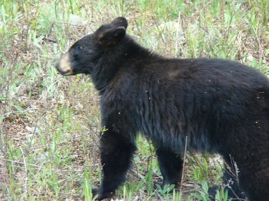 Chapleau, Canada: Bears along the back roads