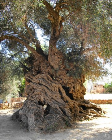 Chania Prefecture, Greece: World's Oldest Olive Tree in Ano Vouves, Chania. http://www.mnn.com/earth-matters/wilderness-res