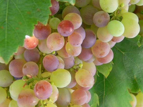 Ceduna, Australia: pick your own grapes from the garden