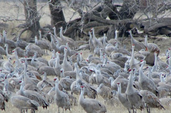 Burchell's White Hill Farmhouse Inn: You gotta see the Sandhill Cranes
