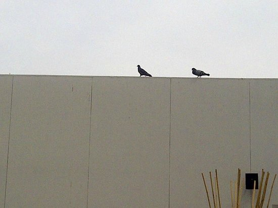 Four Points by Sheraton Bur Dubai: Pigeons covering the pool wall