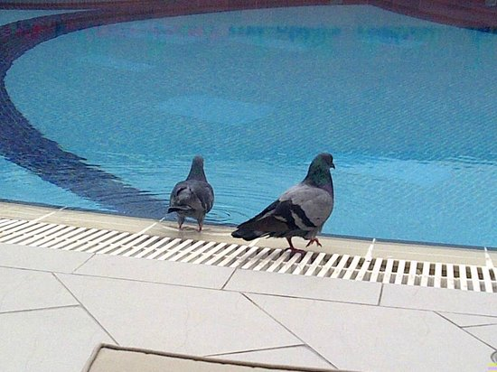 Four Points by Sheraton Bur Dubai: Pigeons drinking from the pool