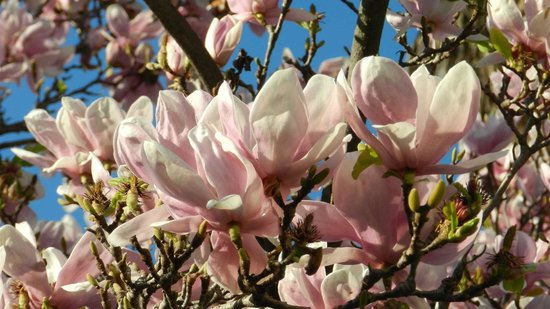 South Pasadena, : Magnolias