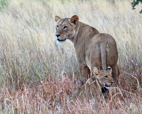 Tswalu Kalahari Game Reserve, South Africa: Lioness and cub
