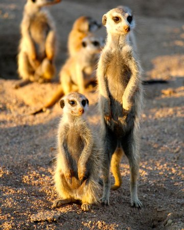 Tswalu Kalahari Game Reserve, South Africa: Meerkats