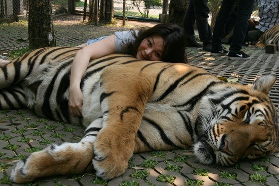 Hugging A Fully Gown Tiger And Squeezing His Fat