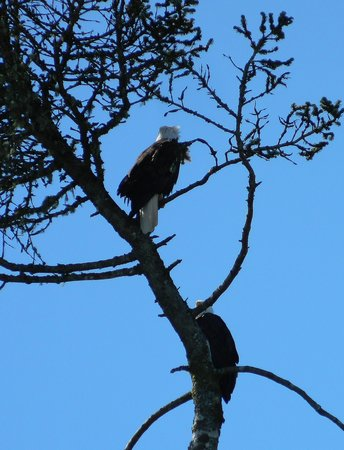 Bear Cove Cottages: Two of the MANY eagles