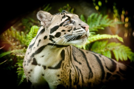 Endangered Clouded Leopard At The Zoo 39 S Cats Of The Canopy