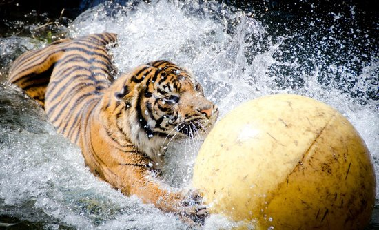 Endangered Sumatran Tiger Malosi Dives In After A Boomer Ball Picture Of Point Defiance Zoo