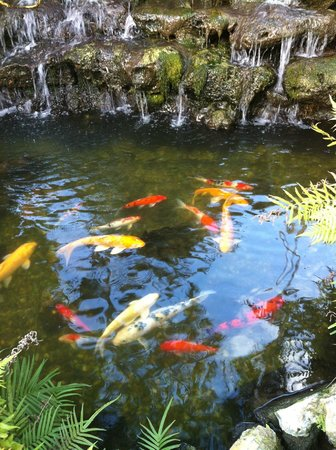 Almond Tree Inn: koi pond