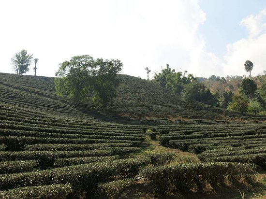 Chiang Rai Province, Tailandia: Oolong tea fields