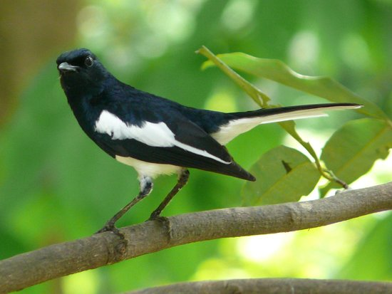 Salim Ali Bird Sanctuary in Goa Salim Ali Bird Sanctuary Pied