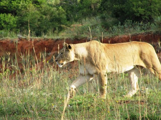 Badplaas, Sør-Afrika: Lioness - Mother of the Cubs