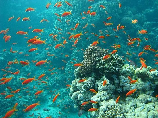 Underwater life picture of sharm el sheikh south sinai - Reef oasis dive club ...