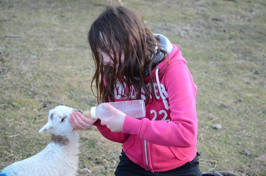Trawsfynydd, UK: Feeding newborn lamb