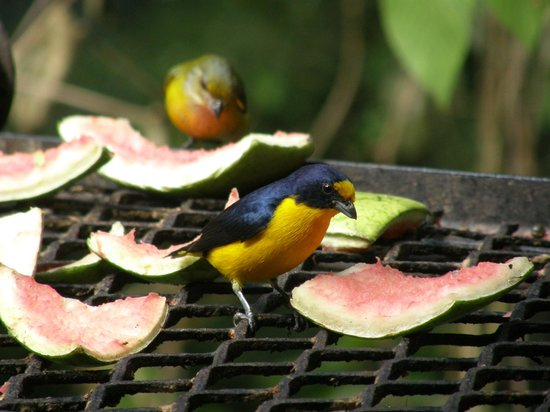 duPlooy&#39;s Jungle Lodge: Yellow-headed Euphonia on bar deck fruit tray