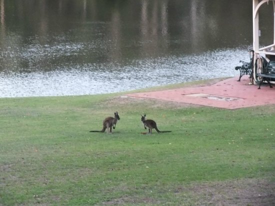 Metricup, Australia: Our Evening Kangaroos