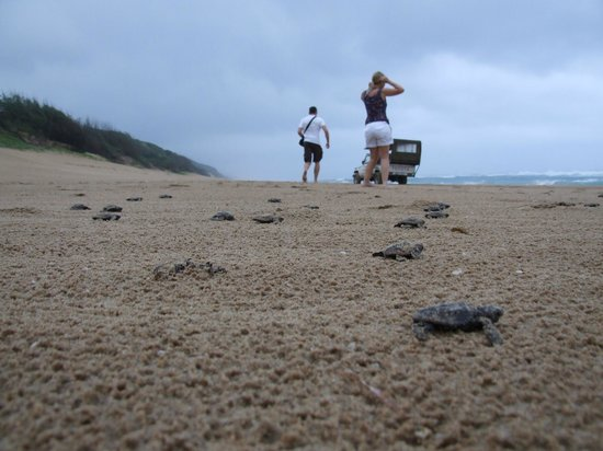 Thonga Beach Lodge: Turtles on their way to the sea