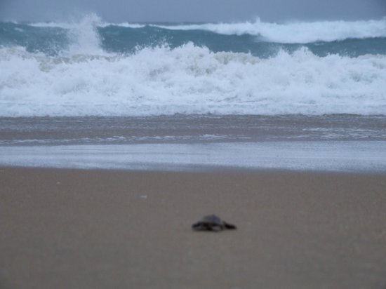 Thonga Beach Lodge: The last turtle nearly in the sea