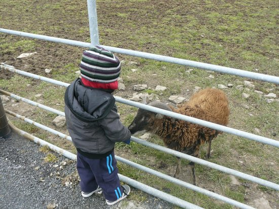 Liscannor, Irland: very tame animals great for kids to get close to and feed