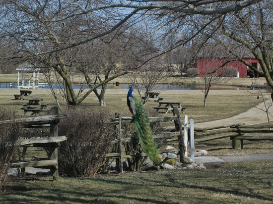 Nappanee, IN: Peacock is friendly - and loud