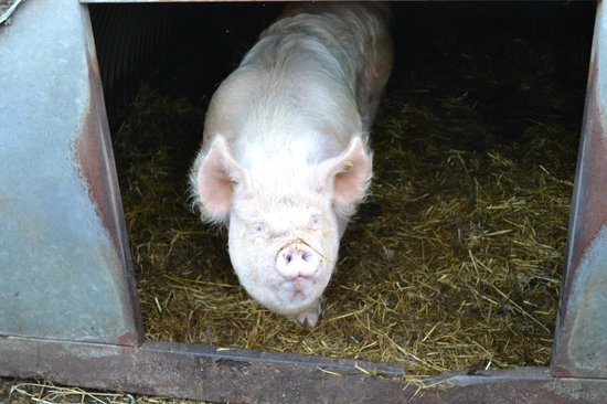Colyton, UK: One of the friendly pigs