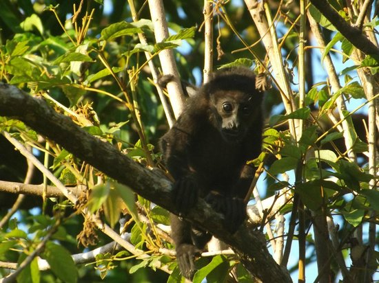 Hotel bungalows SolyLuna los Almendros.: Photogenic Howler Monkey
