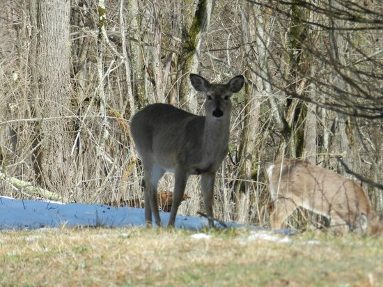 Pipestem, Virginia Occidental: Deer posing