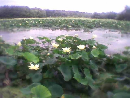 Wilmington, Ohio: Cowan Lake Water Lillies at the narrow end of Lake