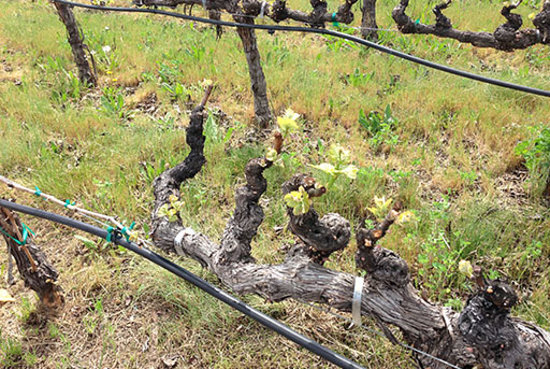 Napa Valley, CA: Bud Break at Robert Mondavi Winery