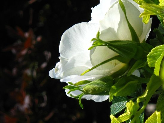 , : Our white shrub roses are fragrant as well as beautiful