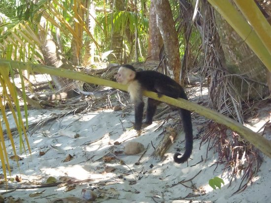 Byblos Resort & Casino: Monkey by the beach in Manuel Antonio National Park