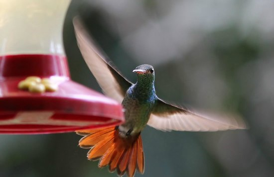 Casa Cayuco: Rufous tailed humming bird from veranda