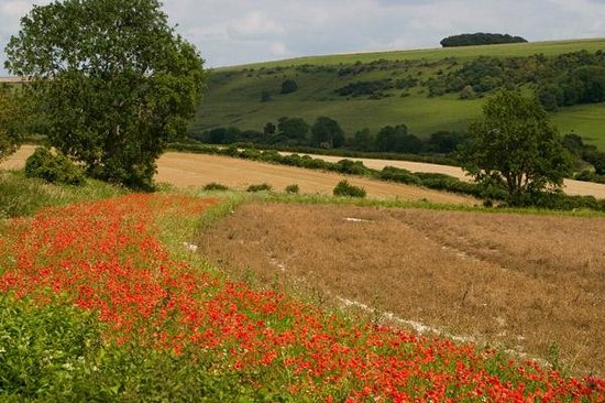 Burpham, UK: poppy field at back of house