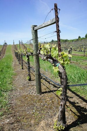 Cloverdale, CA: Early vines 2013