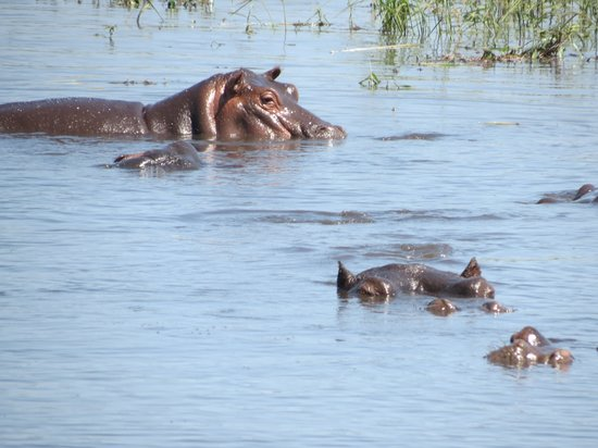 Zambezi Queen: Hippo Pool