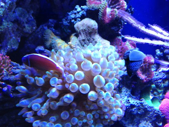 Fish In Anemone Picture Of Portland Aquarium Milwaukie