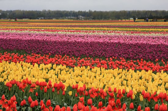 La Conner Country Inn: Skagit Valley tulips