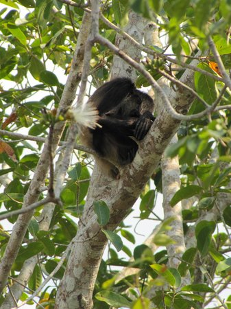 Costa Maya, Μεξικό: sleepy monkey at Chacchoben