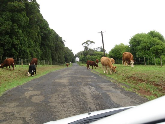 Kingston, Australie : cattle have priority 