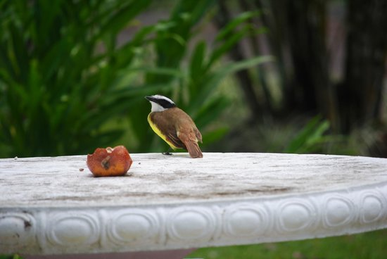 Cabinas Espadilla: Great kiskadee in gardens.