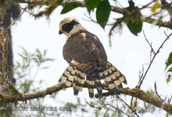 Villa Blanca Cloud Forest Hotel and Nature Reserve: Laughung Falcon