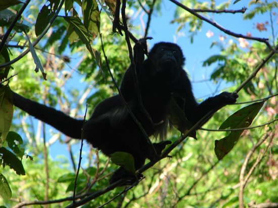 Hotel Belvedere - Playa Samara: Howler monkey near the hotel