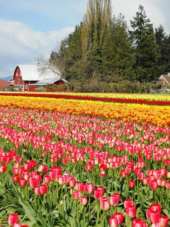 The Heron Inn & Day Spa: Nearby tulip fields