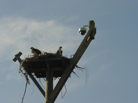 Ocean&#39;s Reach Condominiums: Osprey nest on site