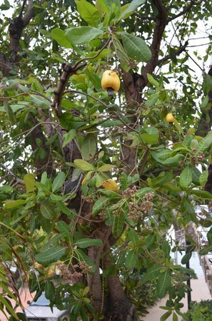 Tipple Tree Beya: Cashews fruit