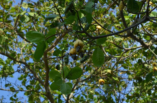 Tipple Tree Beya: Cashew fruit