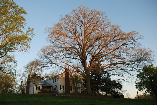 The Rockford Inn Bed and Breakfast: Big oak tree in morning light